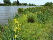 Iris (Iris pseudacorus) le long du canal maritime de la Basse Loire à proximité du Migron