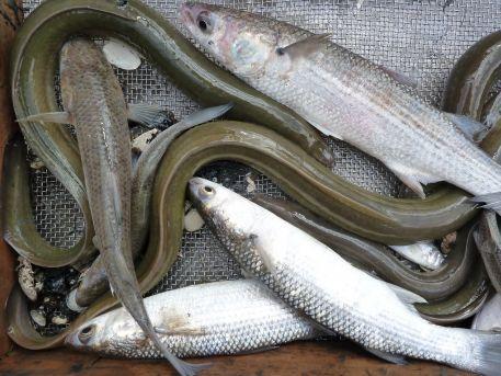 Suivis : les poissons dans l'estuaire de la Loire