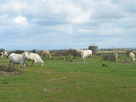 Pâturage sur la zone de remblai de Donges-Est et Tourelle des Moutons