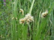 Scirpus triquetrus
