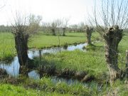 Arbres têtards dans le marais de Couëron, près du Dareau
