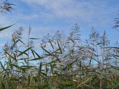 Etudes : Suivi long terme des roselières de l'estuaire de la Loire