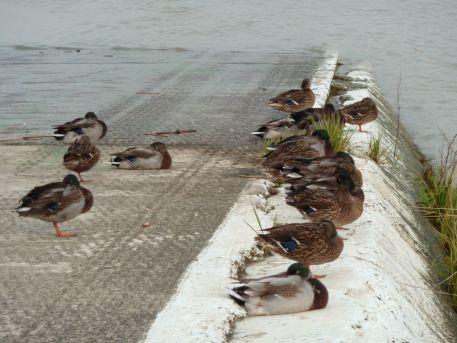 Canards colvert (Anas platyrhynchos) sur la cale du bac